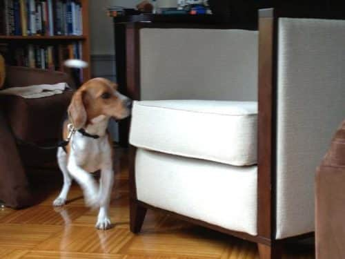bedbug canine dog inspections in NYC
