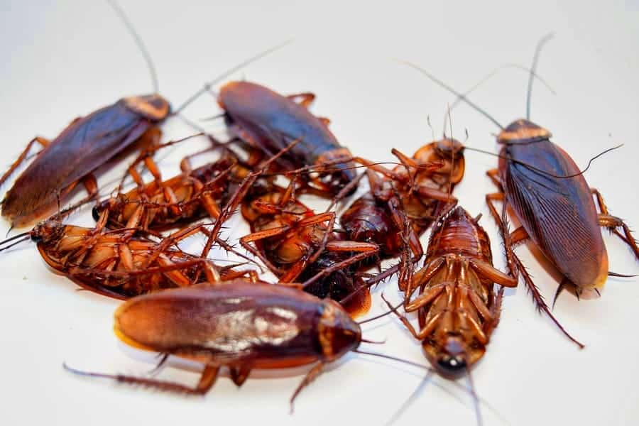 Cockroaches: The Bugs That Just Won't Go Away